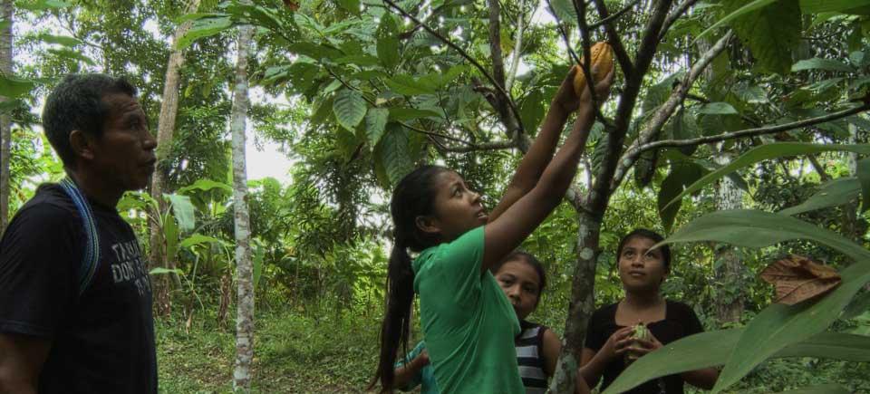 Cultiver le cacao, la relève familiale